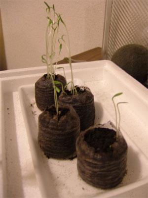 パクチー発芽(種まきから1週間)