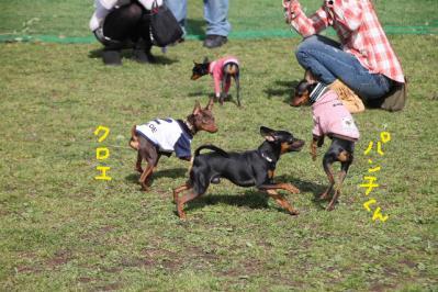 ミニピン祭り2-8