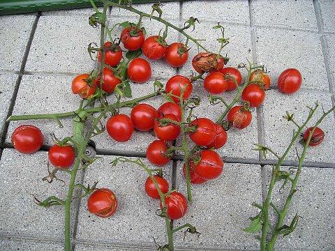 080830ミニトマト1