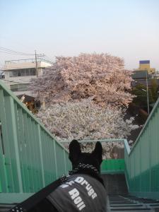 桜並木なのです