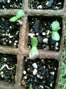 ヒマワリの芽が出た♪