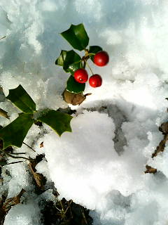 雪の中の柊の実