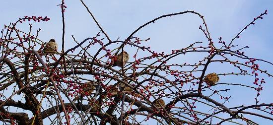 亀戸天神の梅に雀