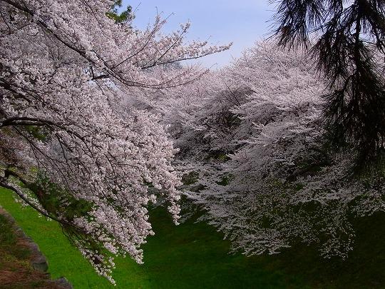名古屋城の桜-3