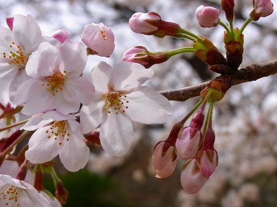 名古屋城の桜-8