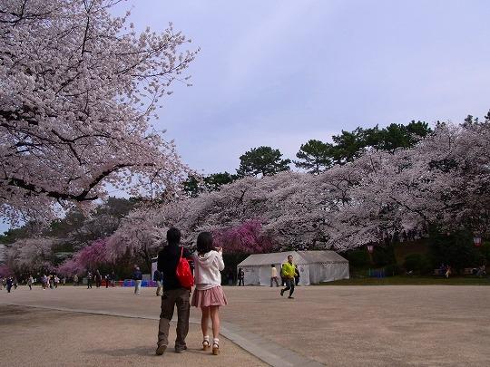 名古屋城の桜-7