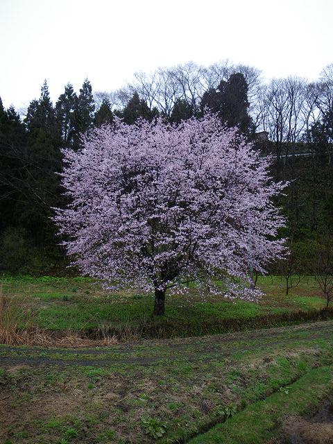 sakura2009part2