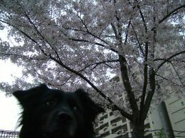 桜とフラン