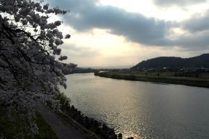 411sakura_5.jpg