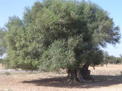 oliviers2.jpg