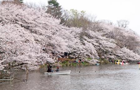 桜満開の吉祥寺井の頭公園