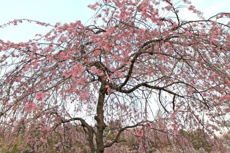 吉祥寺井の頭公園の枝垂桜(シダレザクラ)