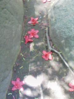 サツキ落花