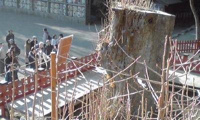 八幡宮の銀杏