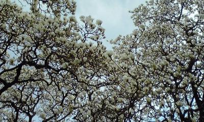 白モクレン枝