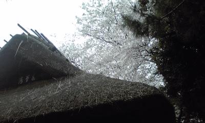 茅葺屋根と桜