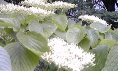みずきの花