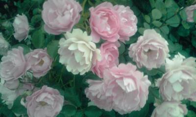代々木公園薔薇