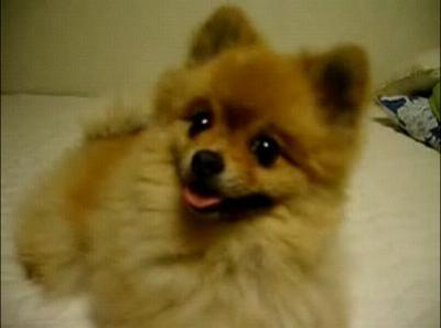 子犬のポメラニアン動画集