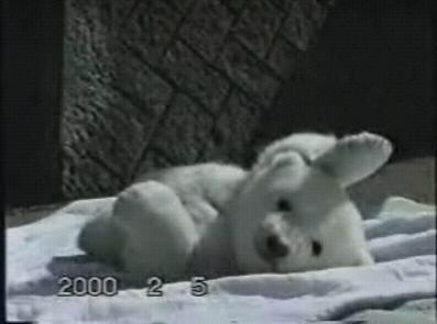 起き上がれない白くま赤ちゃん