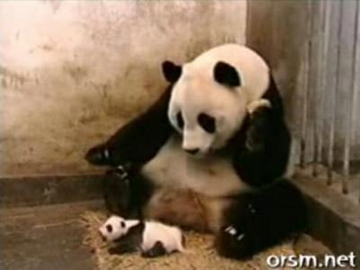 子パンダのくしゃみに驚くパンダ