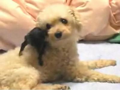 ミニピン子犬とプードル