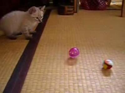 遊びたいけど人が怖い保護子猫