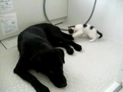 犬の尻尾を猫じゃらしにして遊ぶ子猫