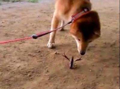 柴犬 VS ザリガニ