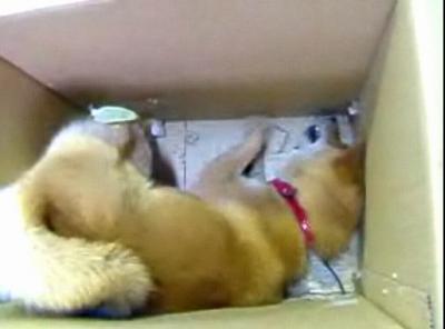 荒ぶる日本の柴犬