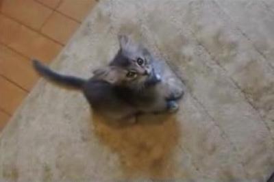 ソマリの子猫 ゴハンの催促