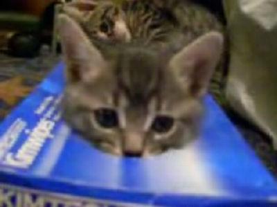 ティッシュ箱猫(アメリカンショートヘアー)