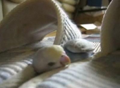 スリッパのあいだで眠るインコ