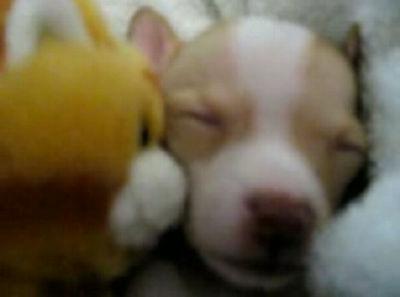 眠るチワワの赤ちゃん