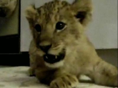 赤ちゃんライオン動画集