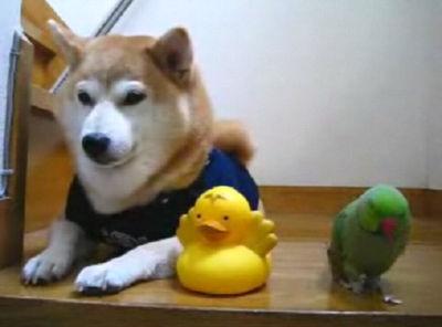 ローズ&柴犬りょう&もも(08年10月11日)