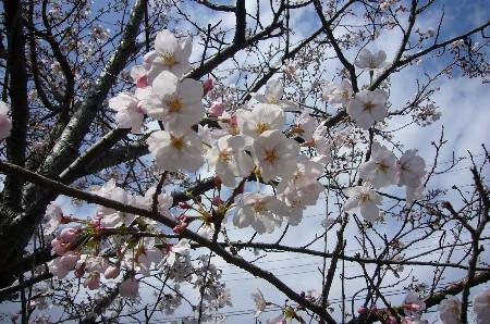 桜 020