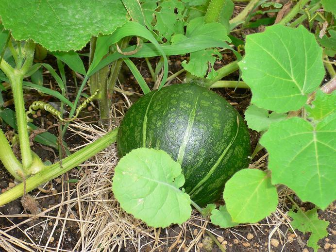 かぼちゃ菜園