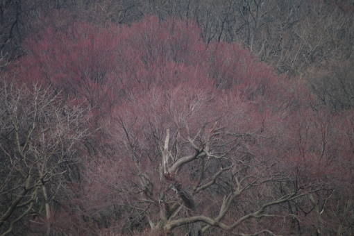 円山ピンク2