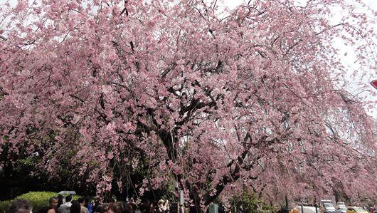 皇居乾門正面の北の丸公園入口に咲く、紅桜