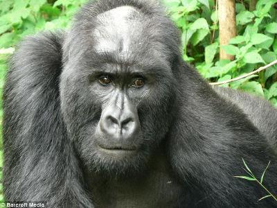 gorilla01_m.jpg