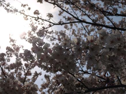 お花見♪3