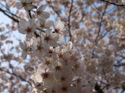 お花見♪6