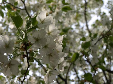 お花見♪9