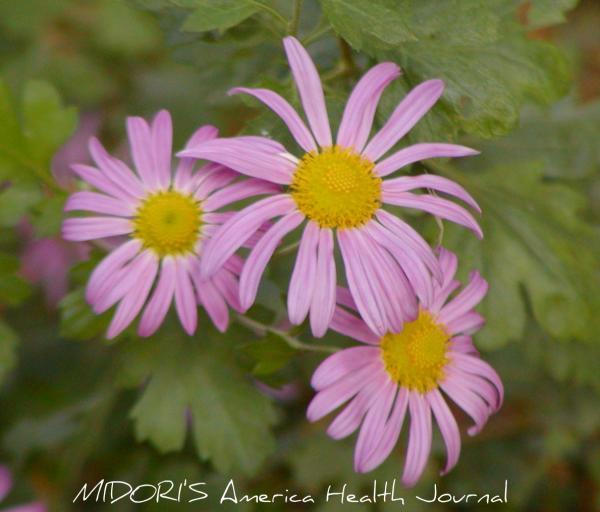 ピンク デイジー 菊