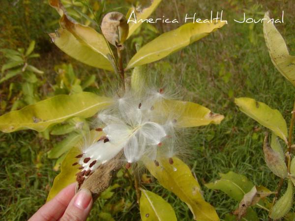 milkweeds ミルクウィーズの種