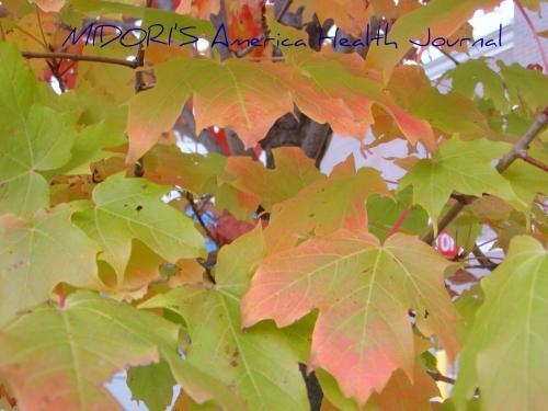 メープル 紅葉 ピンクと薄い緑