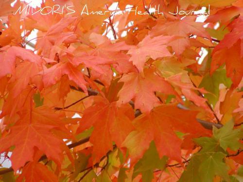 メープル紅葉 オレンジ