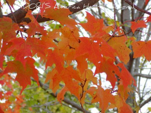 メープル 紅葉 薄いオレンジ
