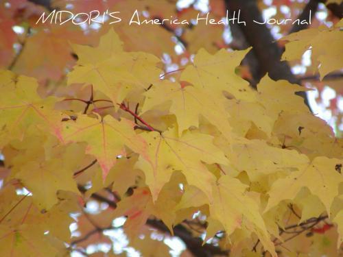 メープル 紅葉 黄色